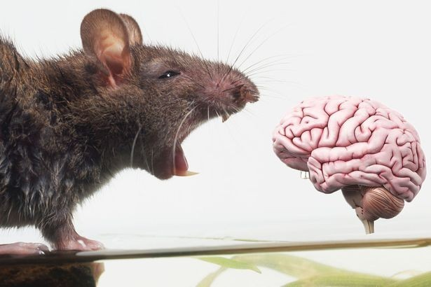 Rats the way to do it: Could computers become cleverer than humans?