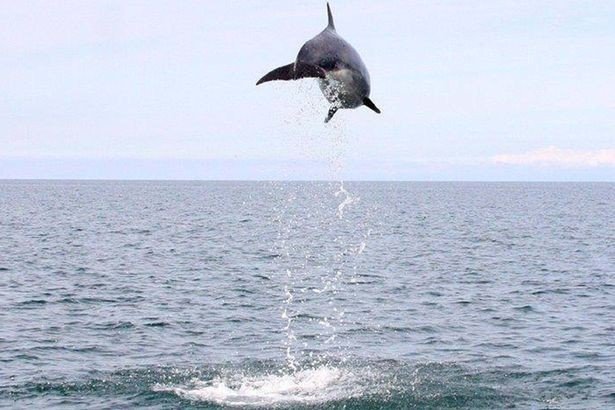 Show-off: Bottlenose in full flight