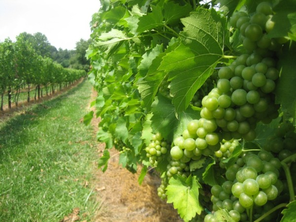 Wine grapes are the world's number one fruit crop in terms of acres planted