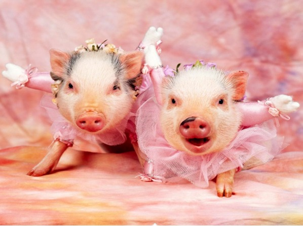 Amazing Pigs ..no wonder they're Thrilled!