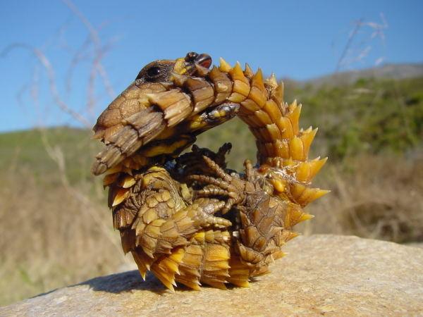 The Thorny Dragon
