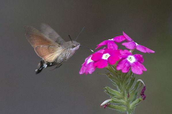 The Hummingbird Hawk-Moth
