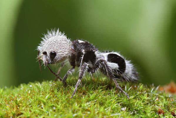 The Panda Ant