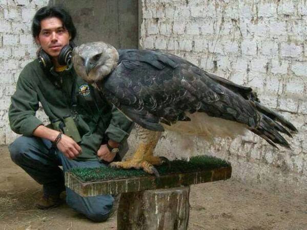 The Harpy Eagle