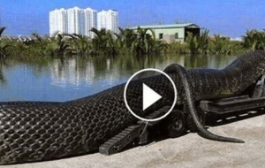 A Gigantic Anaconda Was Found Dead. What Was Found In Its Stomach Will Shock You!